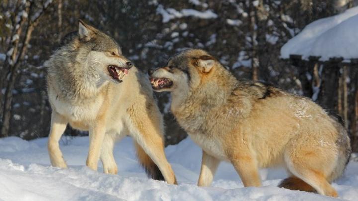Охотники застрелили волка рядом с кладбищем на Мироновой горе