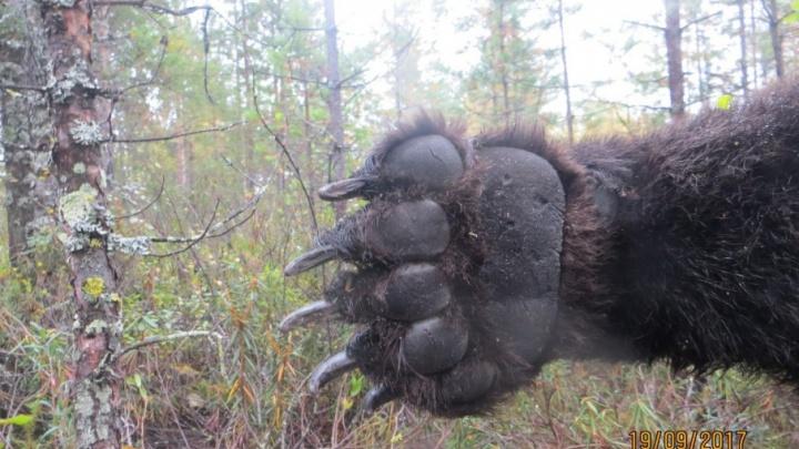 Под Архангельском охотники застрелили медведя, терроризировавшего жителей дач