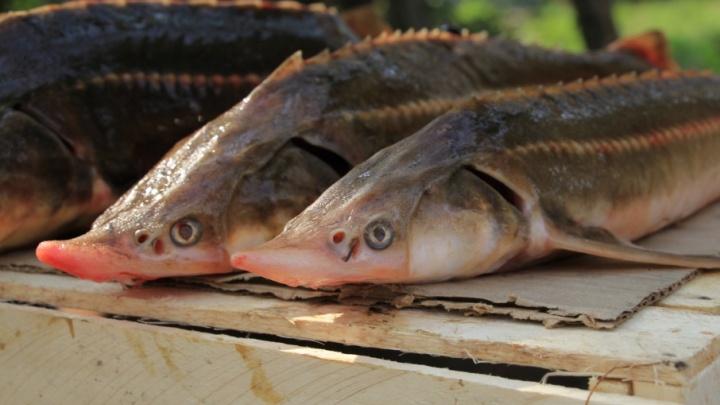 Архангелогородка попала под статью за продажу рыбы с кишечной палочкой