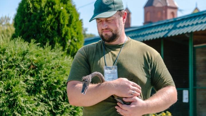 В Самарском зоопарке горожан познакомили с неуклюжим птенцом черных лебедей