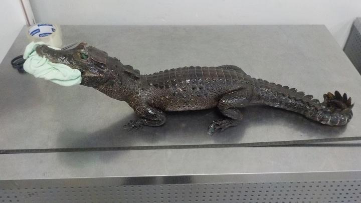 В Самаре сотрудники таможни задержали чучело крокодила из республики Конго