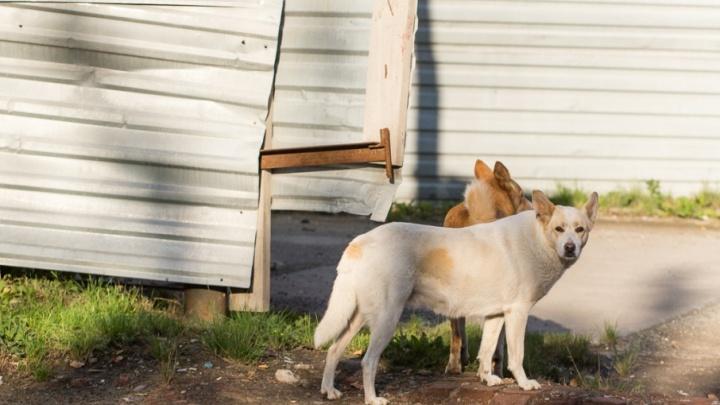 На тюменских улицах отловили 1170 бродячих животных