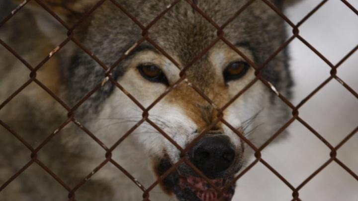 «Крупные хищники до 90 кг»: в Минприроды Прикамья объяснили, почему волки стали чаще выходить к людям