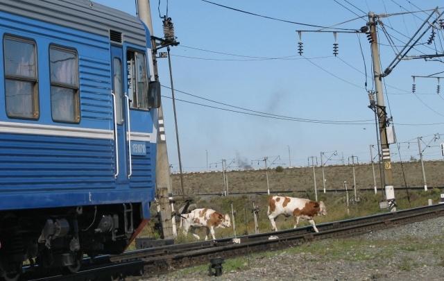 В Волгоградской области бесхозные животные все чаще выбегают на рельсы
