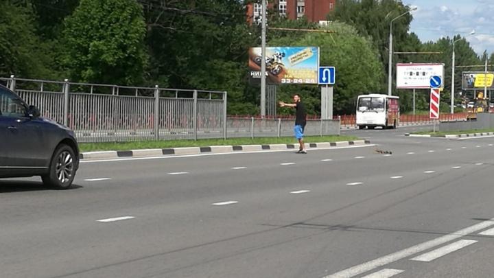 Ярославец нарушил ПДД, чтобы перевести утиную семью через дорогу