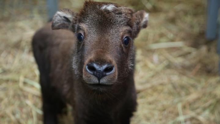 В Ростове у краснокнижных животных такинов-мимши родилось потомство
