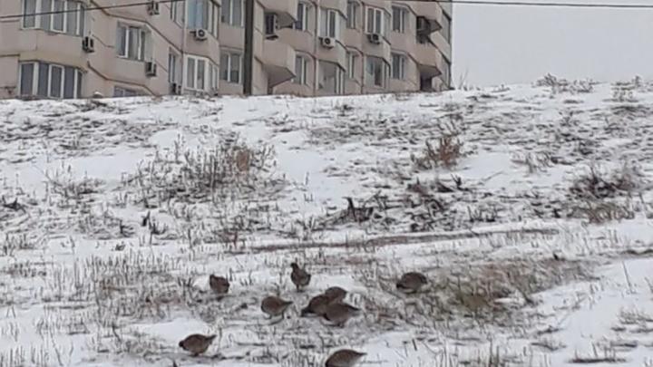 Сбежавшие из вырубленного ЦПКиО куропатки обживаются по всей центральной набережной