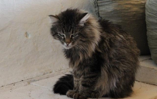 Кот с Таганая стал героем после схватки с рысью