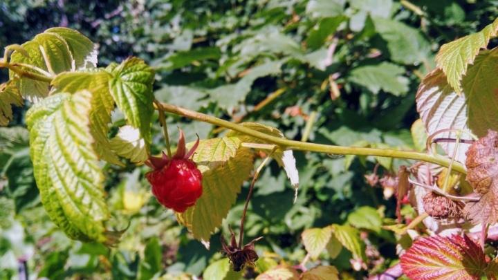 На эспланаде пройдет малиновый флешмоб – пермяки угостятся ягодами и потанцуют