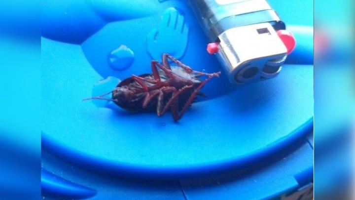 К ярославцам в квартиру заползли огромные чёрные тараканы