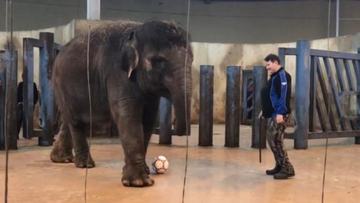 Звериный футбол: в ростовском зоопарке готовят питомцев к чемпионату мира
