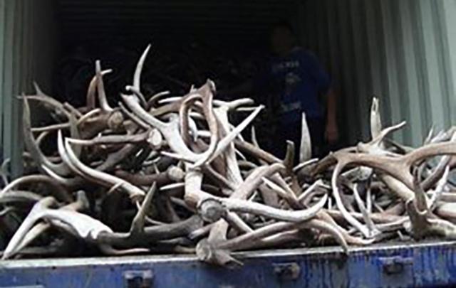 Пограничники не пустили в Челябинск пять тонн оленьих рогов, улучшающих память и потенцию