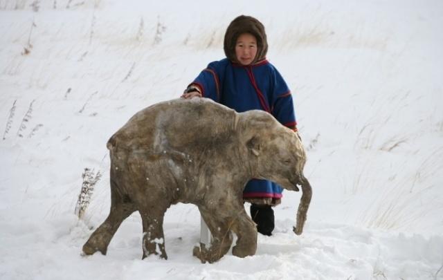 Мамонтёнок Люба появится в Архангельске 1 апреля