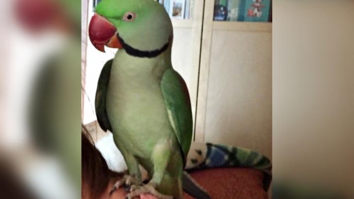 «Ему тяжело одному среди голубей и ворон»: жительница Самары ищет пропавшего попугая
