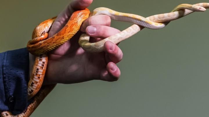«Сперва придушат, потом – съедят»: челябинец держит в квартире удава Каа и кукурузных змеек