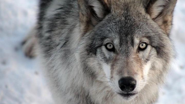 В дачном поселке под Северодвинском волки загрызли собаку