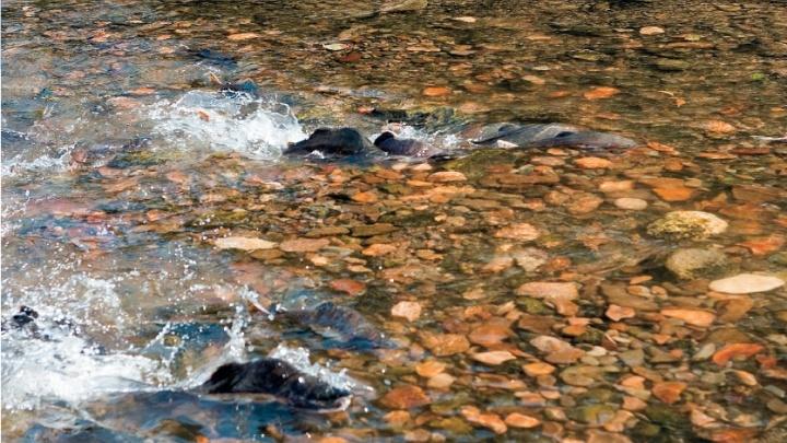 Архангельские полицейские задержали рыбаков-браконьеров, ловивших горбушу на Куе