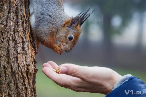 Белки охотно едят грецкие орехи, отлично помня свою дневную норму