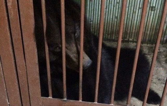 Медведица Маша из томского зоопарка переедет в Челябинск до 1 апреля