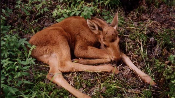 В Ярославской области одинокого лосёнка приютило стадо овец