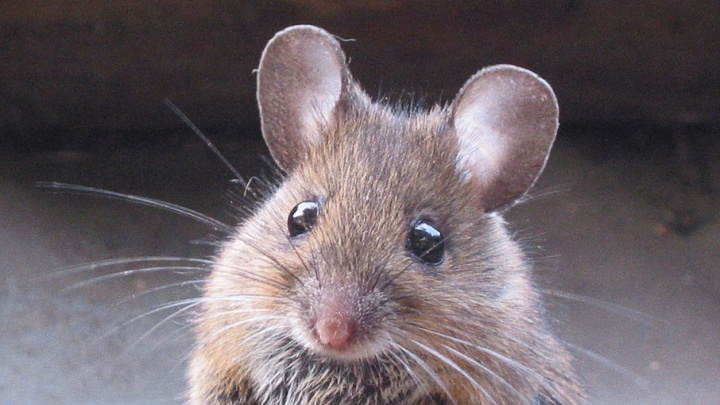 С помощью распечатанных на 3d-принтере яичников мыши дали потомство