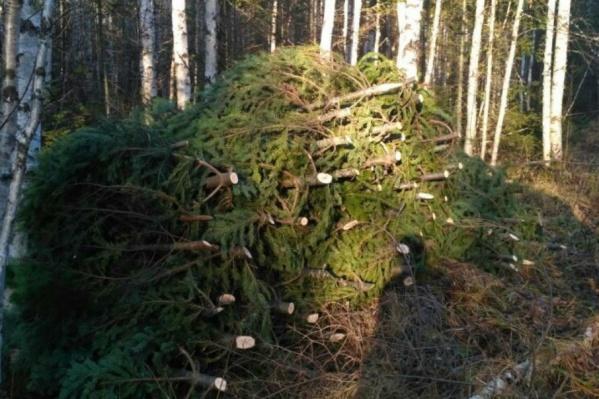 За вырубку 150 деревьев мужчинам грозит уголовная ответственность