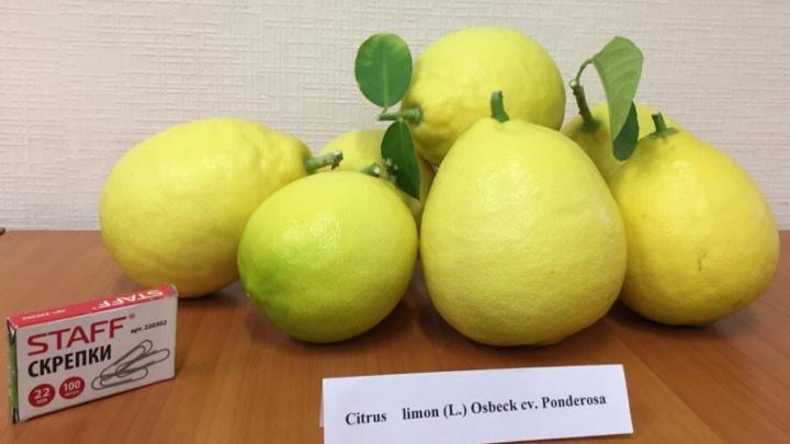 Самая крупная коллекция: в ботаническом саду ПГНИУ собрали десять килограммов лимонов