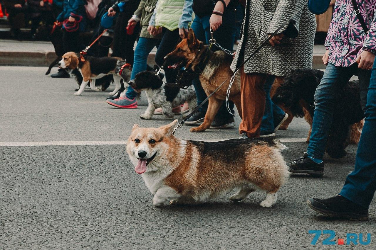 В годы войны собаки помогали доставлять боеприпасы и использовались для транспортировки раненых солдат. Чаще всего это делали овчарки