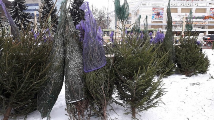 В Ярославле открылись ёлочные базары: сколько стоит живое дерево