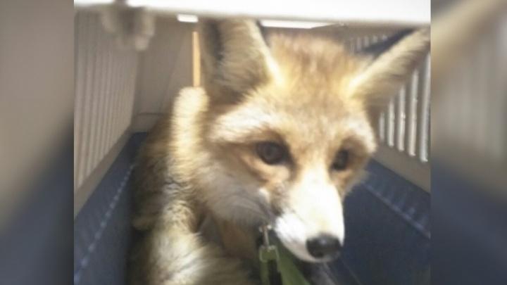 Зверёк с непростой судьбой: активисты «Мата-Мата» спасли лисёнка-отказника