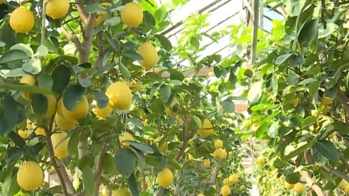 «Все деревья по тысяче»: на Южном Урале распродают и закрывают уникальный лимонарий