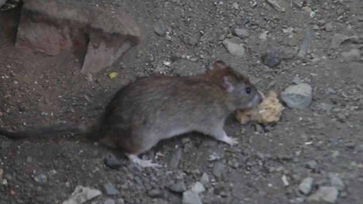 Тюменские дворы атакуют крысы, но в управляющих компаниях беспомощно разводят руками