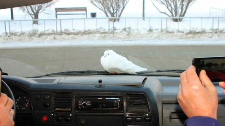 Тюменские спасатели подвезли до голубятни замерзающую птицу