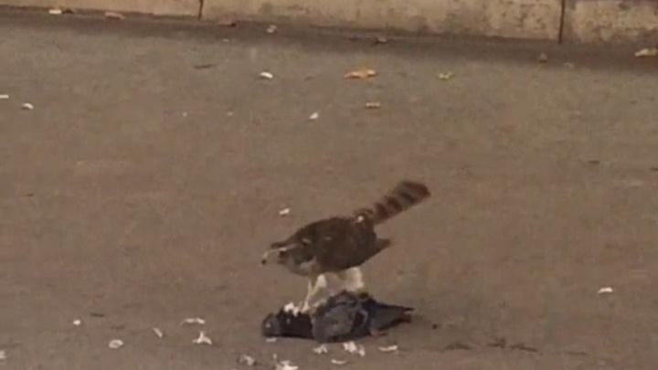 Битва за еду: в Челябинске орудуют хищные птицы