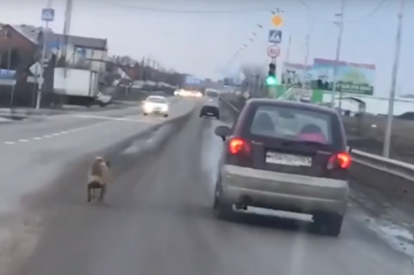 Собака долго бежала за уезжающим автомобилем