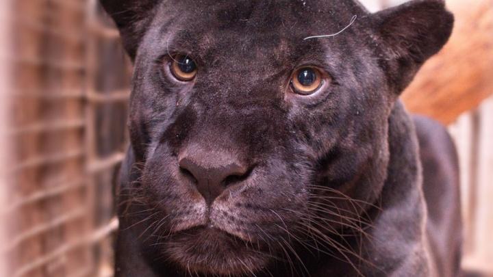 Черный ягуар Нуар из Самарского зоопарка отпраздновала свой день рождения