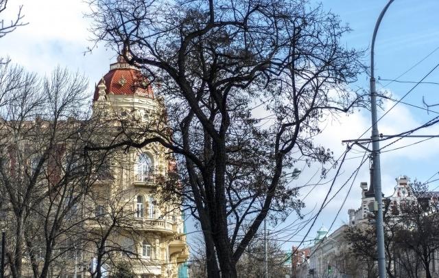 Мэрия: в начале апреля в Ростове высадят новые деревья