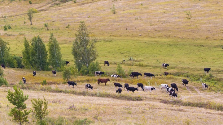 Карантин в Самарской области: 135 голов крупного скота заразилось дерматитом
