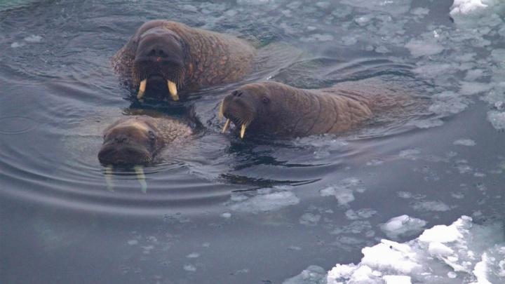 На Земле Франца-Иосифа установили видеокамеры для слежки за моржами