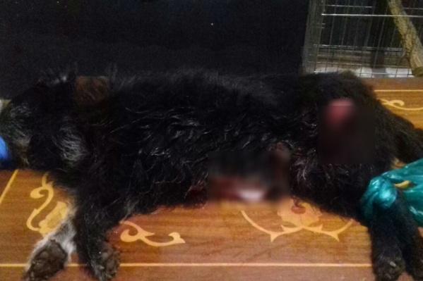 Живодеры сделали веревку из пакета и повесили раненую собаку на дерево