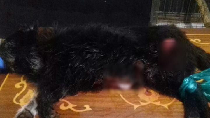 На Дону волонтер спасает собаку, которой догхантеры вспороли живот и сломали лапы