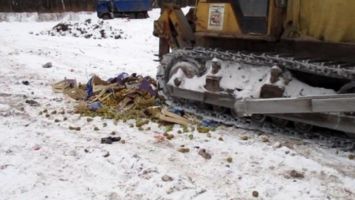 На полигоне в Прикамье раздавили трактором 744 килограмма польских груш