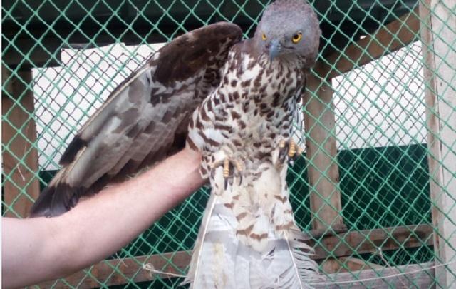 В Ростове ради спасения сокола ветеринарам пришлось удалить ему крыло