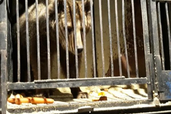 В сафари-парке медведи будут жить в просторных вольерах, а не в клетках