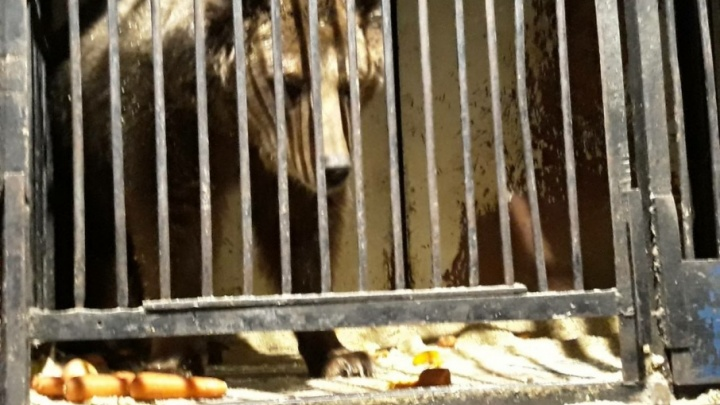 Брошенных медведей из Самары отправят в Крым