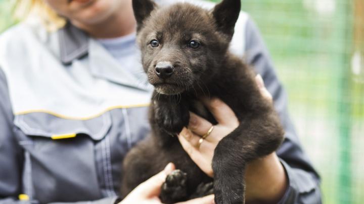 В ярославском зоопарке беби-бум: двойняшки-яки и многодетный папа-волк