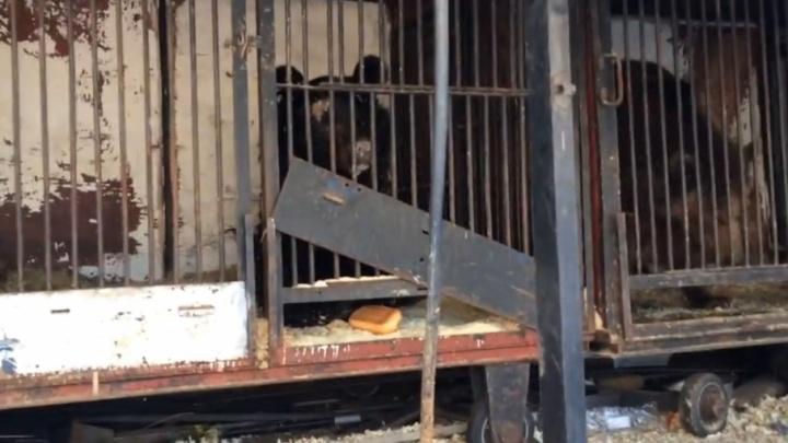 Самарские зоозащитники нашли хозяина брошенных медведей