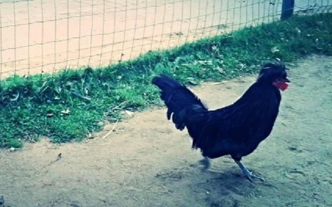Ярославец отправился в колонию строгого режима за кражу трех куриц и петуха