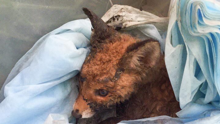 «Вырезали из лужи»: лисёнка из Екатеринбурга, увязшего в битуме, везут в Челябинск