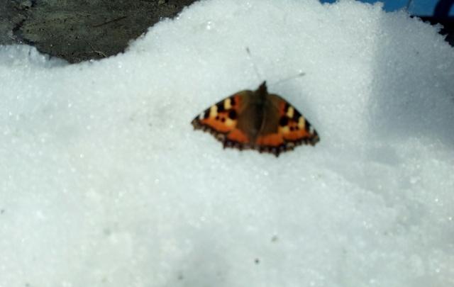 Первые бабочки появились в Ярославле: фото